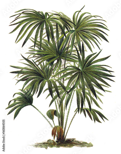 Plant - Livistona (Corypha) australis - Cabbage-tree Palm / Vintage illustration - 160864505