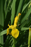 Gorgeous Blooming Yellow Iris Flower Blossom in a Garden
