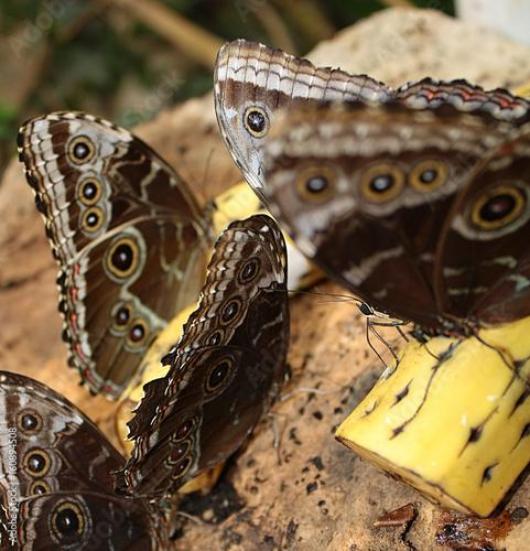 Farfalle Morpho Peleides Su Pezzi Di Frutta 2017 - 160894508