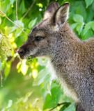 Kangaroo, Close up of head and face