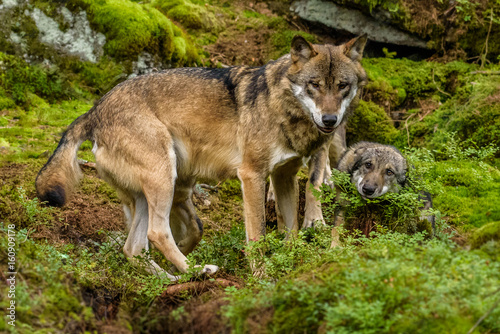Alaska wolf pack (Canis lupus)