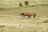 Two brown wild horses on meadow field