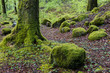 Beech Trees and moss in Spring