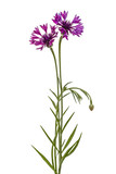 Violet flower of cornflower, lat. Centaurea, isolated on white background