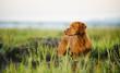 Vizsla dog standing in reeds