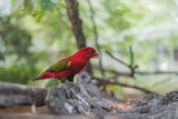 Chattering Lory (Lorius garrulus) on a colorful background. in the zoo