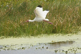 White ibis flying low over a swamp in Christmas, Florida. - 161047708