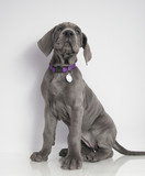 Obedient Great Dane puppy - 161053335