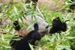 Quadro Giant panda eating bamboo