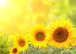 Quadro Sunflowers on blurred sunny background