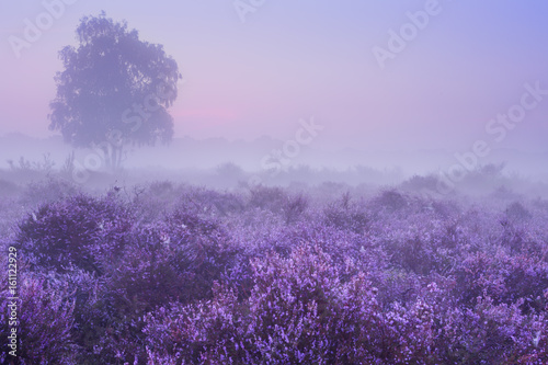 Tuinposter Purper Fog over blooming heather in The Netherlands at dawn