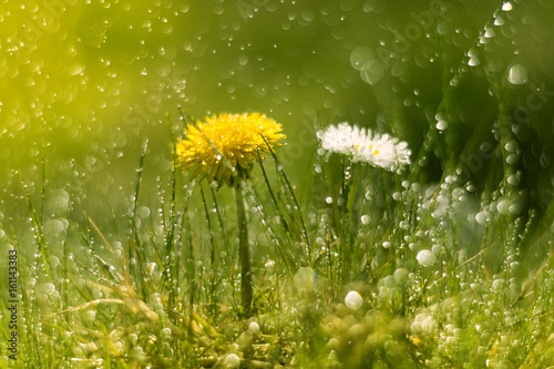 Dandelion and Daisy in the rain. Macro with beautiful bokeh.Selective focus - 161143383