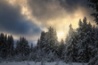 winter coniferous forest covered with snow in evening