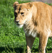 Quadro Lioness on the grass in the wild