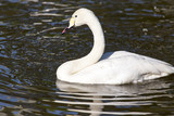 White swan on a pond in the park
