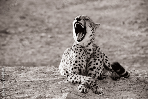 Aluminium Abu Dhabi Leopard