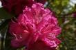 シャクナゲの花 石楠花