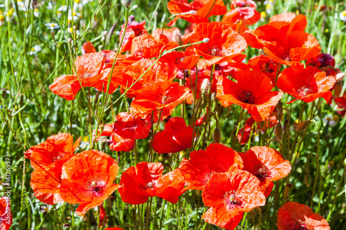 Wiese mit Mohnblumen im Sommer