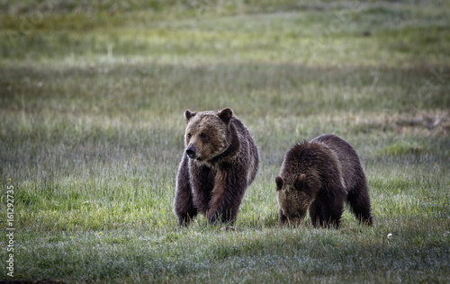 Grizzly Bear Sow and Cub at Norris Meadow in Yellowstone National Park