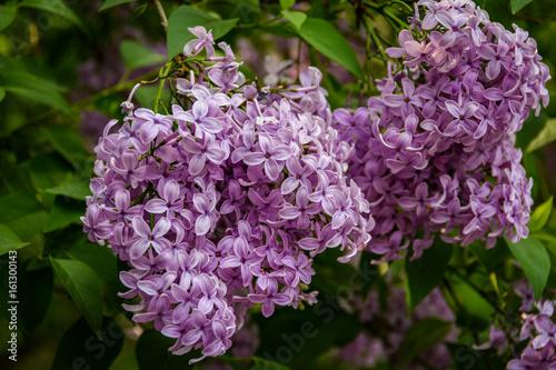 Fototapeta Piękne Kwitnące Kwiaty Fioletowego Bzu Fototapeta4upl