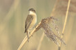 Sedge Warbler, Acrocephalus schoenobaenus, singing perched in a reed bed