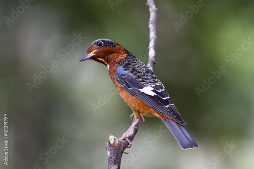 Poster White throats rock thrush