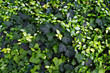 Ivy Background/Various colors of Ivy leaves