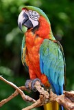 The Catalina Macaw is a first generation hybrid macaw. It is a cross between a Blue and Gold Macaw (Ara ararauna) and a Green-winged Macaw (Ara chloroptera).