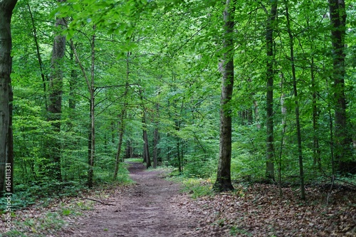 A path into the woods among tall gree trees - 161411331