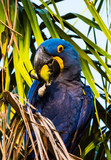 Hyacinth Macaw in Palm Tree