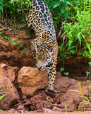 Jaguar climbing down river bank to enter river
