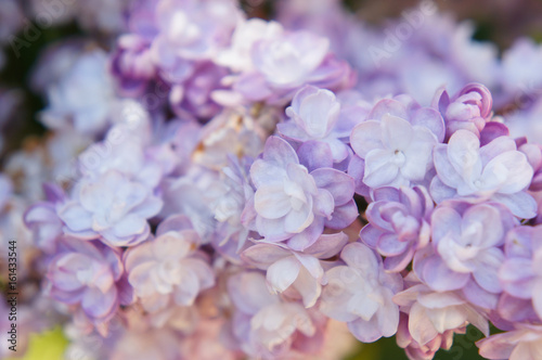 Lilac ami shot purple flowers close up