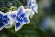 日本の紫陽花