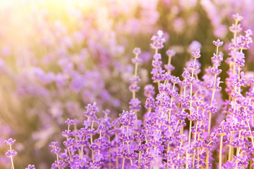Lavender bushes closeup on evening light. Blooming bush of lavender closeup. Provence region of france.