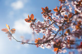 Blossoming cherry branches with pink flowers