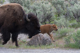 Bison in Yellowstone Adult with Calf