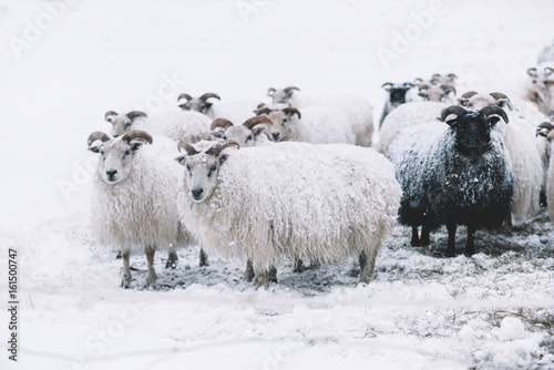 Icelandic sheep roaming in the winter snowy field,beyond their season. Black sheep contrasting among white sheep - 161500747