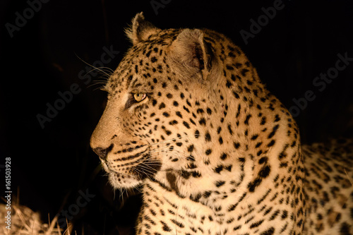 Plexiglas Panter Animals in Djuma Sabi Sands South Africa