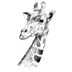 the head of a giraffe sketch vector graphics black and white drawing