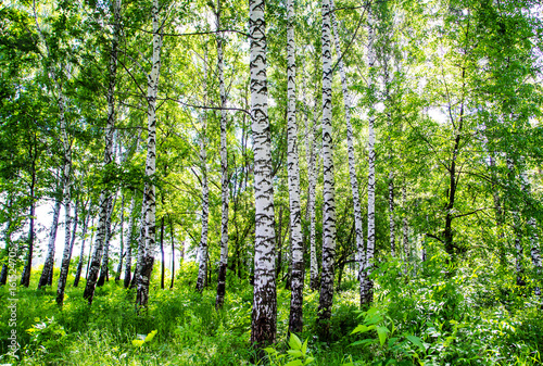 Plexiglas Berkenbos birch grove