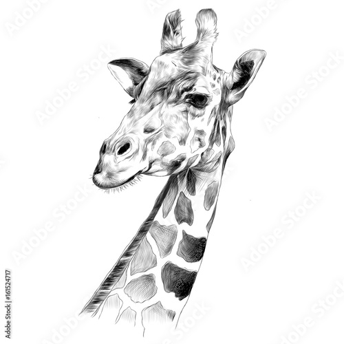 Fototapeta the head of a giraffe sketch vector graphics black and white drawing