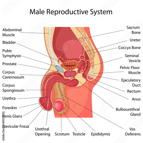 GamesAgeddon - Education Chart of Biology for Male Reproductive ...