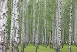 birch grove in the Park