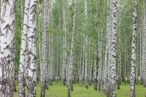 Fotobehang Berkenbos birch grove in the Park