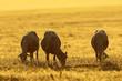 herd of sheep grazing at dawn