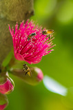 The color of pomerac flowers are very attractive to the bees.