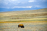 Bison Grazing in High Mountain Field