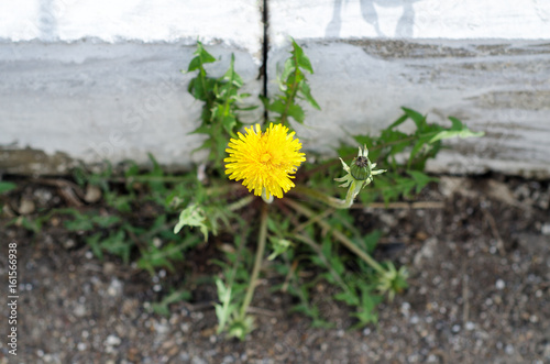 Yellow dandelion grows from concrete Poster