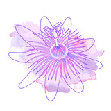 Isolated hand drawn purple outline flower of passionflower, passiflora on pink violet watercolor spot. Print of curve lines.
