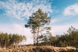 Pine Tree Growing On Sandy Hill In Autumn Forest. Early Spring